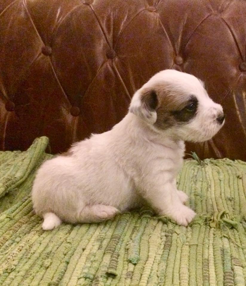 cucciolo allevamentoMY jacks Jack russell terrier