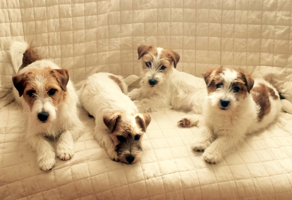 my jack kennel i nostri jack russell terrier