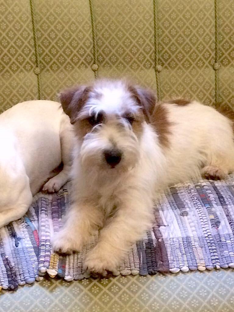 Kaszavolgij-Furge Ralph i nostri jack russell terrier